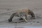 smok z Komodo na plaży przy naszym kotwicowisku