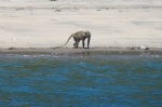dzika małpa na plaży MT