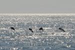 bawiące się delfiny na południe od Komodo ZS