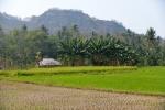 pola ryżowe 1