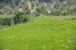 pola ryżowe 2