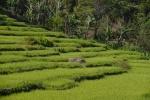 pola ryżowe 3