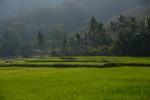 pole ryżowe w popołudniowym świetle