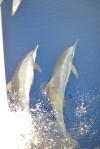 delfiny przed dziobem pierwszy raz na Indyku 30.04.2016