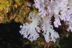 miękki koral na nurkowisku Aquarium