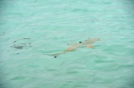 młode rekiny refowe przy Biyaadhoo