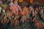 ściana usłana miękkim koralem
