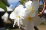 gardenia tahitiańska AM