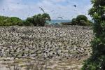 rybitwy na lęgowisku na Bird Island