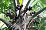 kwiaty palmy seszelskiej ZS