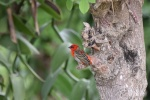 Red fody - ptaszek nazywany Rasputin PK