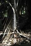 kolce młodej palmy chroniące ją przed żółwiami czyhającymi na liście
