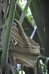 męska palma