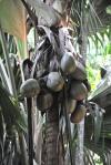 dojrzewające owoce palmy seszelskiej