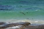 pływanie synchroniczne w wykonaniu pingwinów przylądkowych z RPA