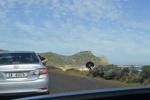struś przy drodze